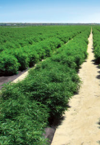 hemp plants cbd