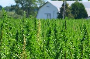 Where is CBD-Rich Hemp Grown?